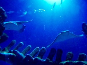 sea-life-aquarium-londres-raie